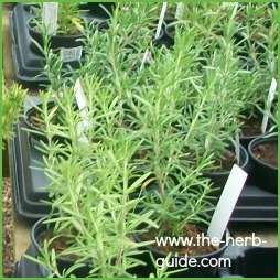evergreen herbs list