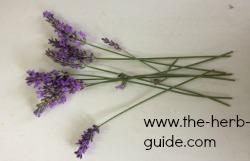 fresh cut lavende