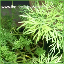 how to grow dill leaves