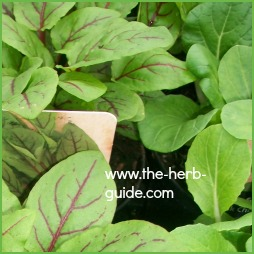 how to grow jamaican sorrel