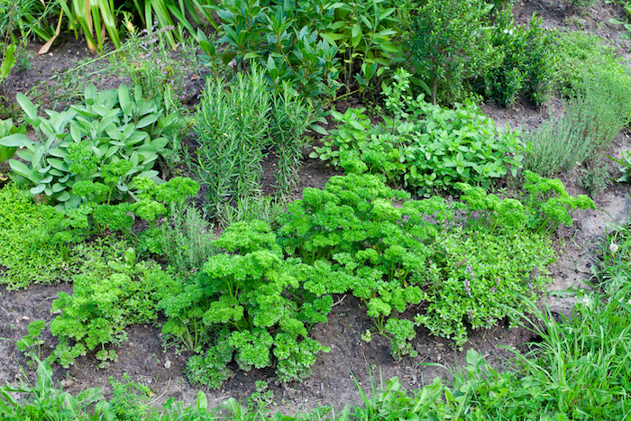 fresh parsley and other herbs growing in the soil