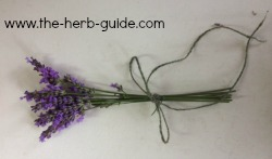 lavender ready to dr