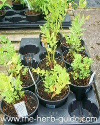 Growing lovage - Tips planting herbs lovage parsley dill ...