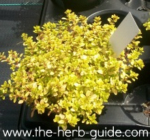 golden thym