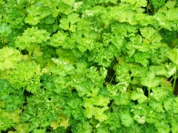 healthy parsely plant
