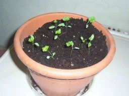 parsley seedling
